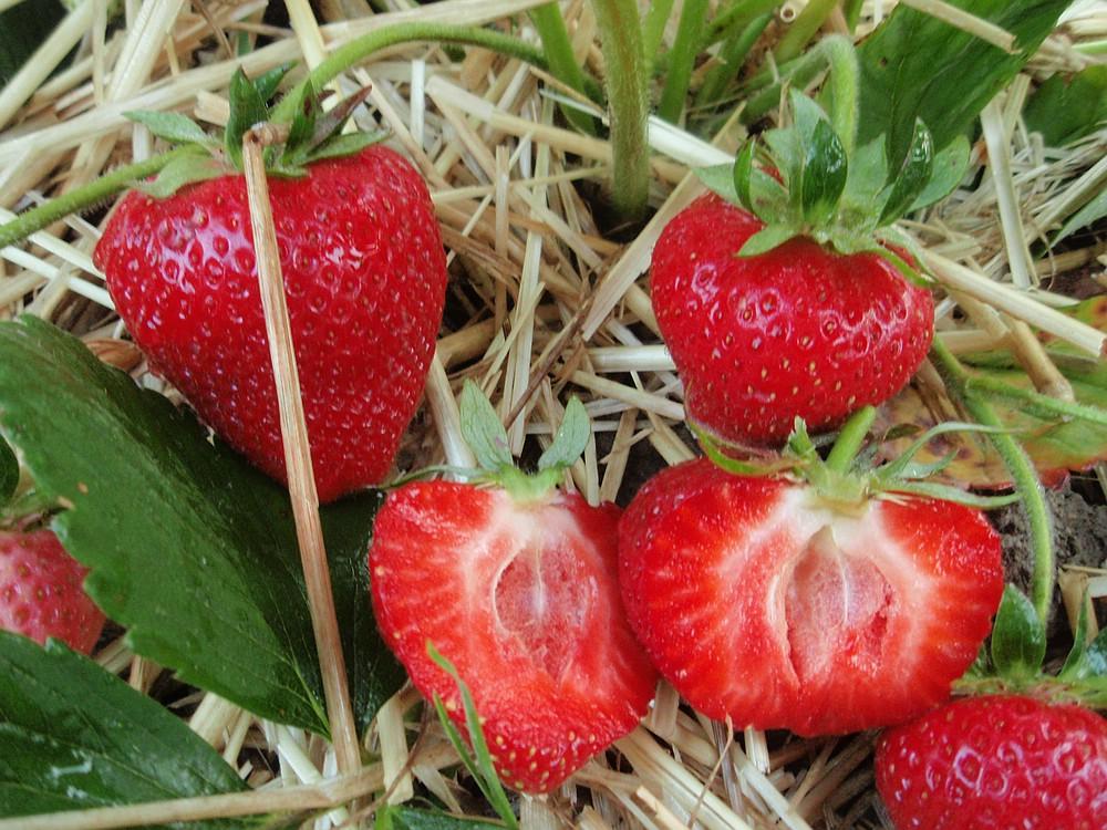 Beliebt Bevorzugt Erdbeeren &GW_92