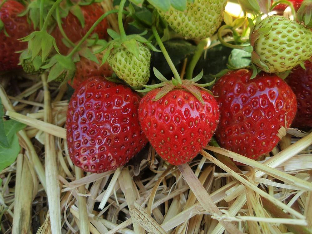 Prächtig Erdbeeren &SG_64